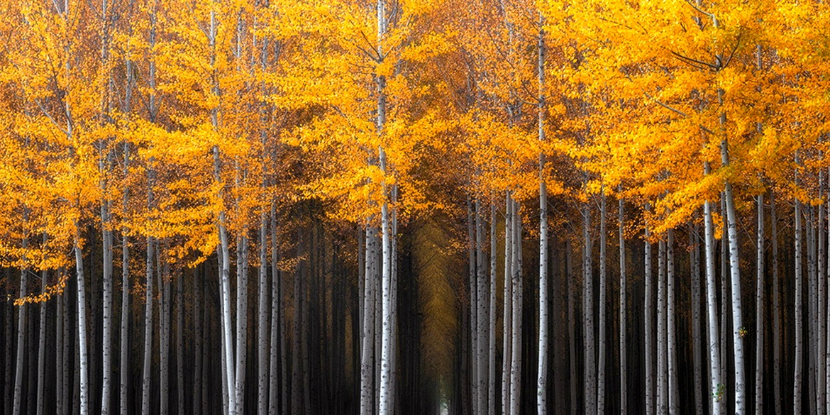 Photo 5 Thick grove of poplar trees Oregon David Thompson